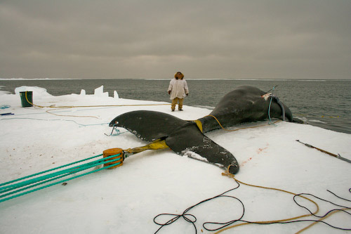 thesis statement for whale hunting Are you an adult learner (are a mature traditional one) looking for proven strategies to write and study effectively you've come to the right place these resources.